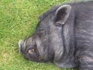 pot bellied pig side view.jpg